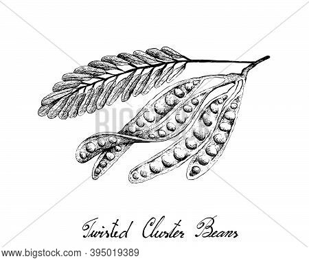 Illustration Hand Drawn Sketch Of Sato, Parkia Speciosa, Bitter Beans Or Twisted Cluster Beans With