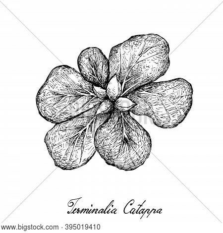 Illustration Hand Drawn Sketch Of Terminalia Catappa, Malabar Almond Or Sea Almond Fruits.