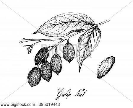 Illustration Hand Drawn Sketch Of Canarium Indicum, Galip Nuts Or Pacific Almonds On A Tree, Good So