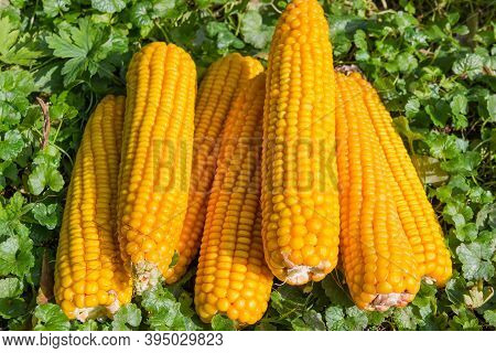 Small Pile Of Fully Ripe Corn Ears Peeled From Husks Lie On The Grass