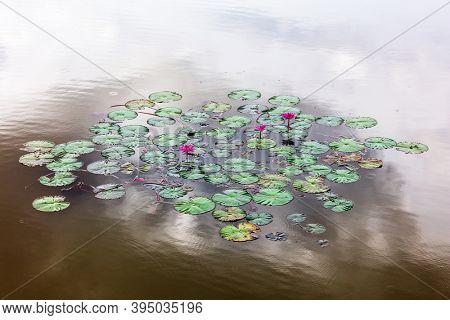 Beautiful pink water lily or lotus flower in lake.
