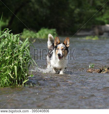 Welsh Corgi Cardigan In Water