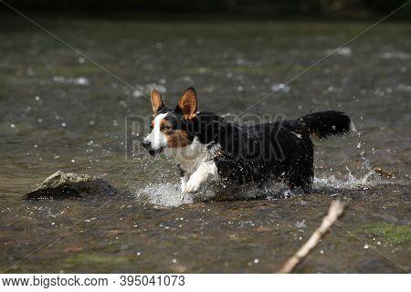 Welsh Corgi Cardigan Running