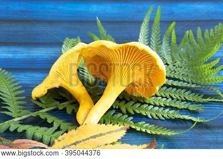 Chanterelle Mushrooms, Raw Wild Chanterelles Mushroom On Rustic Background Close-up. Organic Fresh C