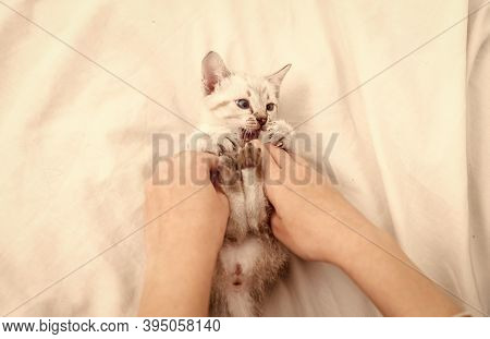 Happy Lovely Cat. Cute Kitten In Hands Of Woman. Girl Is Playing With Hands With Nice Kitten. White