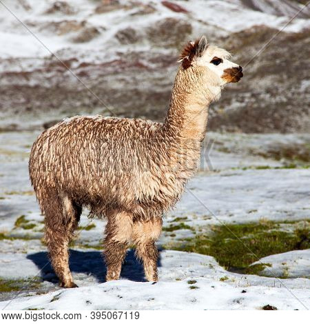 Llama Or Lama On Pastureland, Andes Mountains, Peru