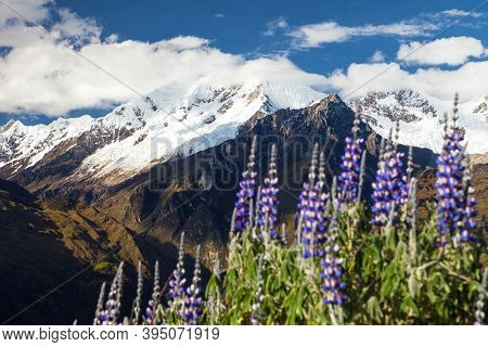 Mount Saksarayuq With Lupinus Flowers, Andes Mountains, Choquequirao Trekking Trail Near Machu Picch