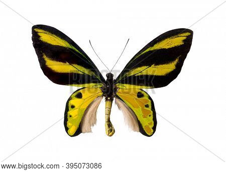 Yellow butterfly, Birdwing, Ornithoptera priamus, Ornithoptera Tithonus Misresianus. Isolated with clipping path on white background