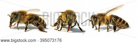 Set Of Tree Bees Or Honeybees In Latin Apis Mellifera, European Or Western Honey Bee Isolated On The