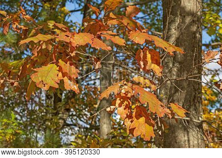 Oak Leaves In Their Fall Colors In Governor Thompson State Park In Wisconsin