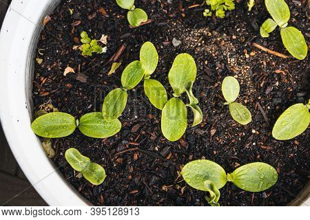 Pumpkin Plant Seedlings Outdoor In Sunny Vegetable Garden Shot At Shallow Depth Of Field