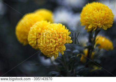 Yellow Chrysanthemums On A Blurry Background Close-up. Beautiful Bright Chrysanthemums Bloom In Autu