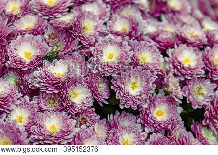 Beautiful Wallpaper Of Different Colors Of Chrysanthemum. Nature Autumn Floral Background. Close Up