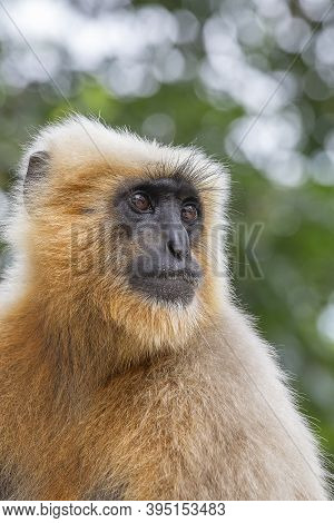 Monkey Langur Also Known As Hanuman Langur In Rishikesh, India. Close Up. Indian Langurs Are Lanky,