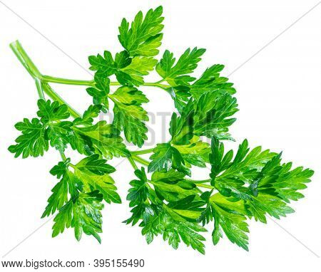 Parsley herb. Curly leaved parsley on white background.