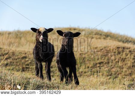 Cute Little Black Sheep Are Standing On A Green Meadow. Funny Faces Look At The Camera. Portrait Of