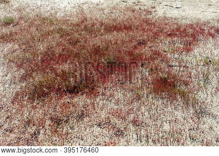 Red Grass On Shore Lake Ebeity, Omsk Region, Russian Federation, Large Salt Lake With Therapeutic Mu