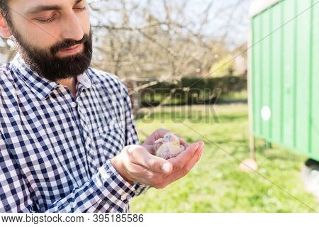 A man holding a pigeon chick on his hand in a pigeon loft