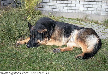 Sheepdog, Large, Lies In A Green Garden