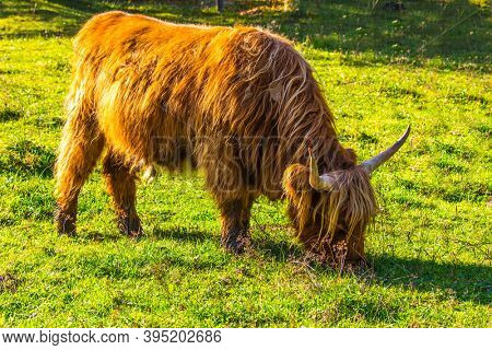 Logarska Valley, Slovenia. Picturesque thoroughbred red Scottish cows graze on a grassy pasture. Magnificent golden autumn in the mountains. Eastern Europe, Alps. Sunny day