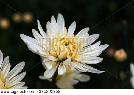 White Chrysanthemums Close-up On A Dark Blurry Background. Beautiful Delicate Snow-white Chrysanthem