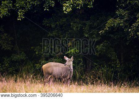 Sambar Deer In Khao Yai National Park Thailand