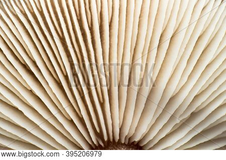 Close-up Of Mushroom Cap Gills, Macro Shot, Texture Of The Bottom Of The Mushroom From An Extremely