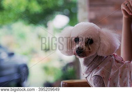 Dog Poodle White And Cream Two Little Beautiful Poodles Postcard Dog Show Shaggy Poodle Kiss Dog Ani
