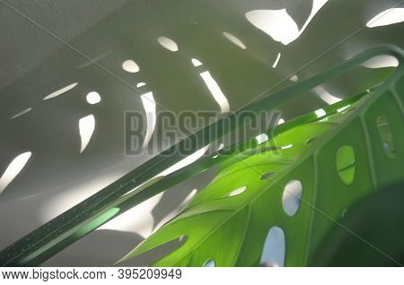 Shadow Of Tropical Monstera Leaves, Texture Of Green Leaves, Monstera Leaf In Flowerpot At The Terra