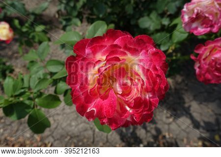 Cerise And White Flower Of Rose In Mid July
