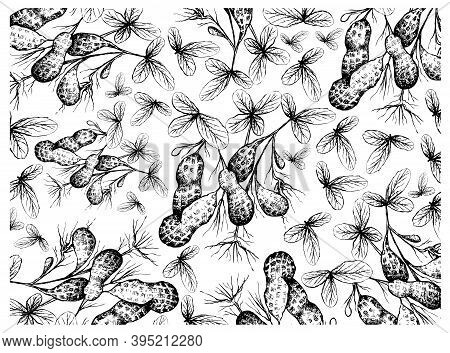 Illustration Wall-paper Background Of Hand Drawn Sketch Fresh Peanuts Or Groundnut With Groundnut Pl