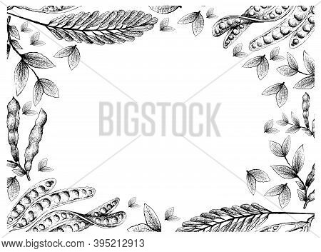 Illustration Frame Of Hand Drawn Sketch Of Sato, Parkia Speciosa, Bitter Beans Or Twisted Cluster Be