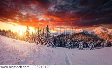 Scenic image of spruces tree in frosty evening. Location place Carpathian mountains, Ukraine, Europe. Wintry wallpapers. Picturesque nature photography. Happy New Year! Discover the beauty of earth.