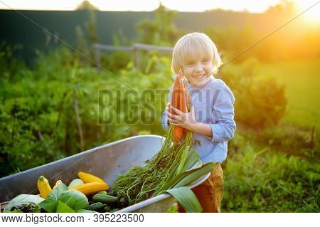 Little Boy Helps Family To Harvest Of Organic Homegrown Vegetables At Backyard Of Farm. Child Put On