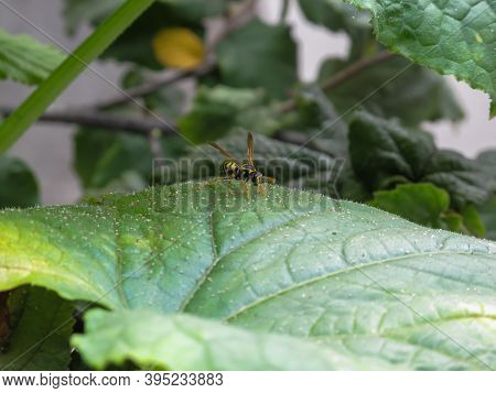 One Yellow Wasp On Green  Leaf In Summer Day. A Wasp Sitting On Leaf In Garden.