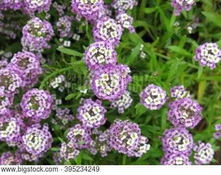 Blooming Sweet Alyssum Dwarf Purple Or Sweet Alice Or Sweet Alison (lobularia Maritima, Alyssum Mari