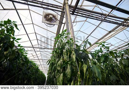 Modern Greenhouses. A View Of Greenhouse Roof, Ceiling Beams Are Visible, A Fan Under The White Roof