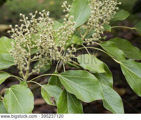 Oreopanax X Capitatus Is A Shrub In The Family Araliaceae