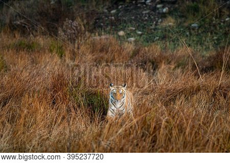Wild Tiger Head On At Grassland Area Of Dhikala Zone Of Jim Corbett National Park Or Tiger Reserve U
