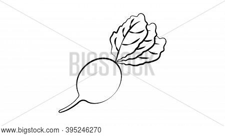 Ink Radish Hand Drawn Sketch. Retro Botanical Art. Organic Food, Eco Sketch. Stylish Monochrome Blac