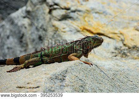 Animals Lizard Iguana. Green Iguana Also Known As The American Iguana Is A Lizard Reptile In The Gen