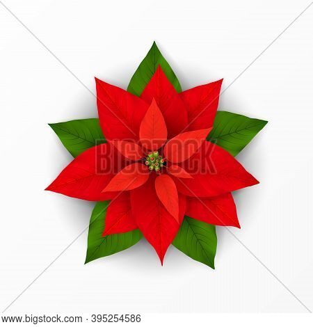 Poinsettia Flower. Poinsettia Plant With Scarlet And Green Leaf For Xmas Winter Holiday Decoration.