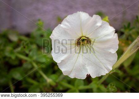 Beautiful White Flower Of Petunia Axillaris Varierty. (also Known As Wild White Petunia Or White Moo