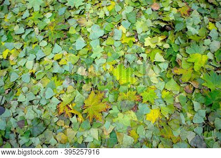 Bright Fallen Yellowed Maple Leaves Yellow Green Fallen From A Tree To The Ground Background Autumn