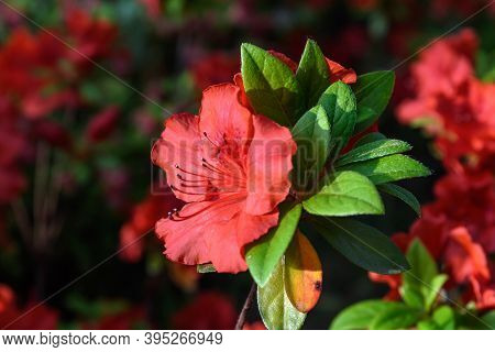 Bush Of Delicate Vivid Red Flowers Of Azalea Or Rhododendron Plant In A Sunny Spring Japanese Garden
