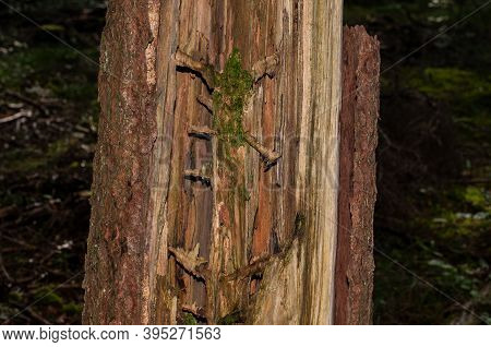 Close-up Of A Rotting Dead Tree In Forest With Moss Growing Inside