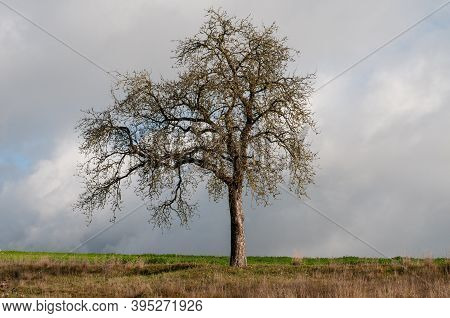 A Single Standing Bare Apple Tree In Dry Grassland With Asymmetrically Growing Branches In Autumn