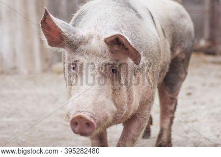 Farm Animal Portrait Of Big Domestic Pig.