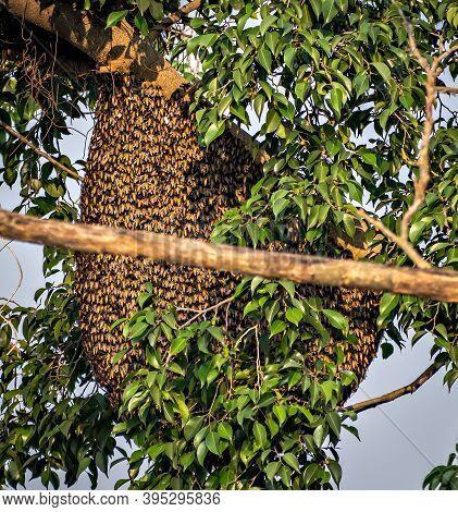 Natural, Big Honey-bee Nest Or Beehive On Tree Branch. A Beehive Is An Enclosed Structure In Which S