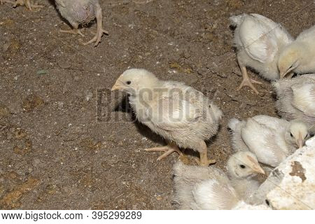 Many Baby Broiler Chickens At An Indoor Chicken Farm Taken At Night